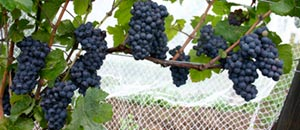 Cabernet Franc ghost vines, Twenty Mile Bench