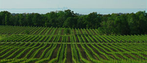 View of Vineyards, Lake Ontario and the CN Tower, Flat Rock, Twenty Mile Bench