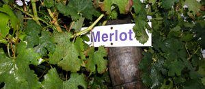 Merlot vine leaves, Lake Erie North Shore